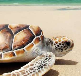 Main Turtle
