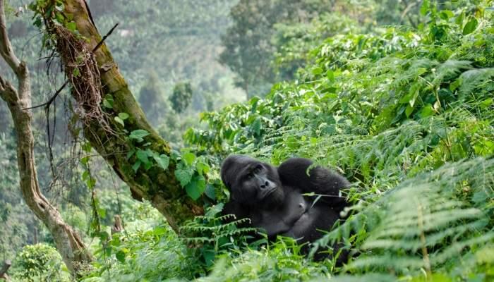 bucketlist_gorillas