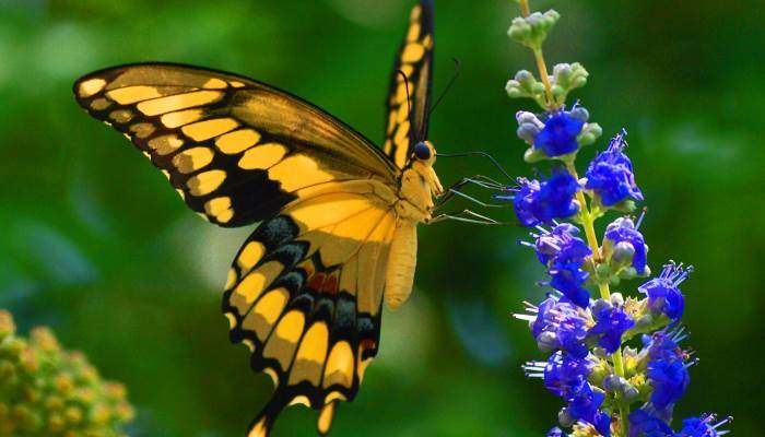 the-giant-swallowtail-butterfly