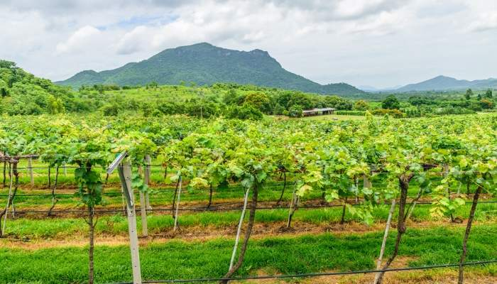 huahin_vineyard