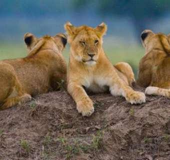lions-main-image