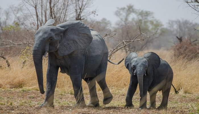 benin elephants