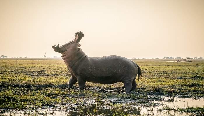 botswana hippopotamus