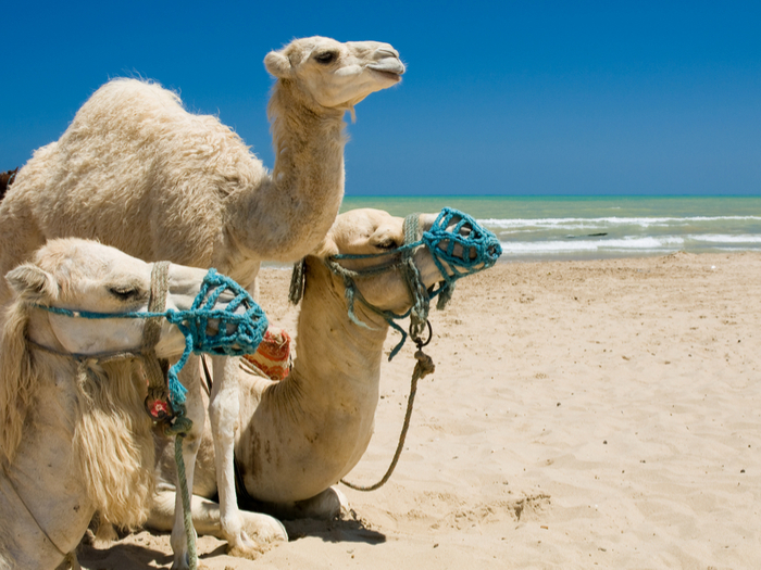 Camels on Saidia Beach, Morocco
