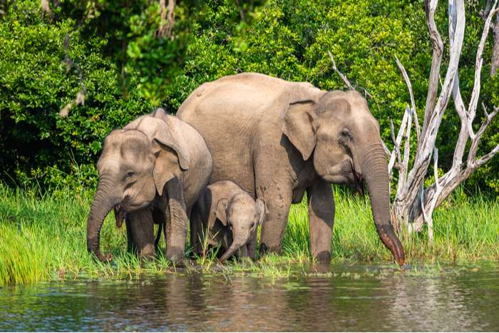 Small herd of Asian elephants in Yala National Park