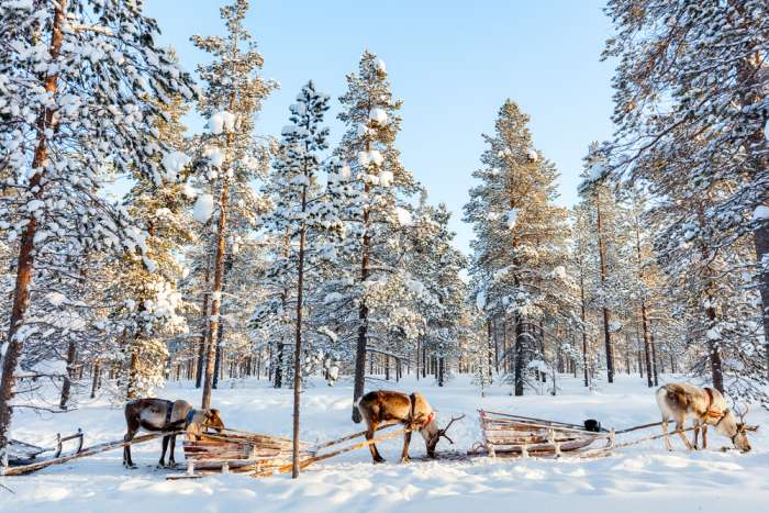 Reindeer and sleighs in the snow, Lapland