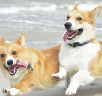 corgis running on the beach