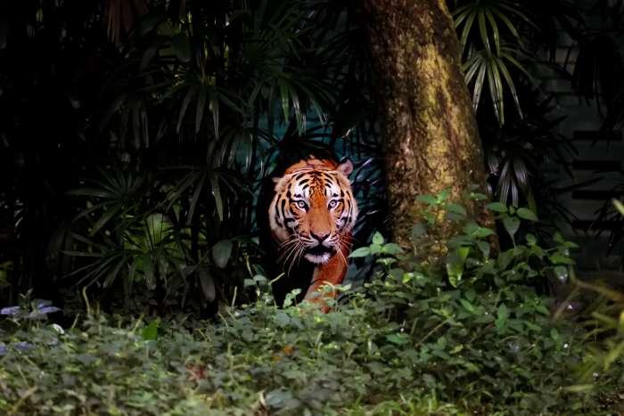 Sumatran tiger prowling through rainforest undergrowth