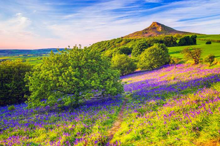 Bluebells on a grassy bank in Newton Wood, with Roseberry Topping in the background