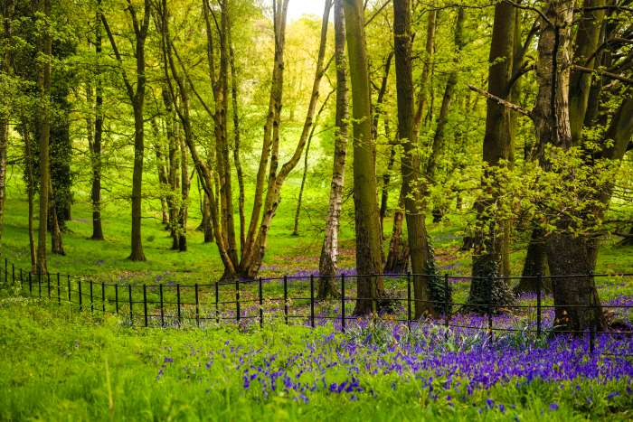 Bluebells growing in the shade of a tree on Hampstead Heath, London