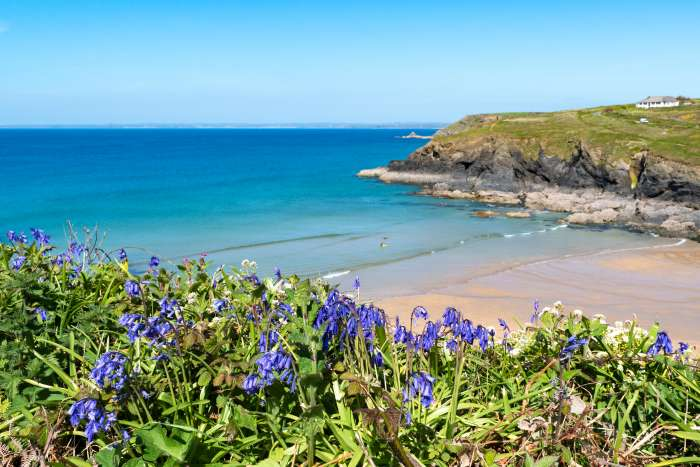 Bluebells on a cliff at Poldhu Cove, Cornwall, with a golden beach and blue sea in the background