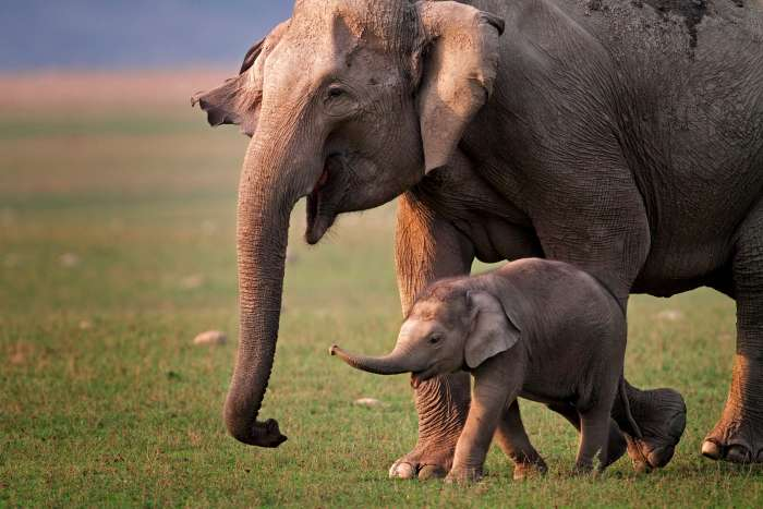 An adult and infant Asian elephant walking together