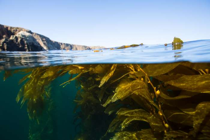 Over and underwater photograph of the kelp forests, California