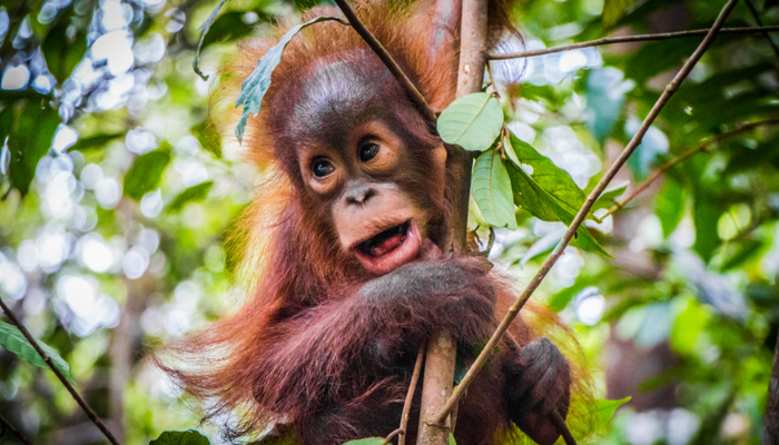 Orangutans in the wild