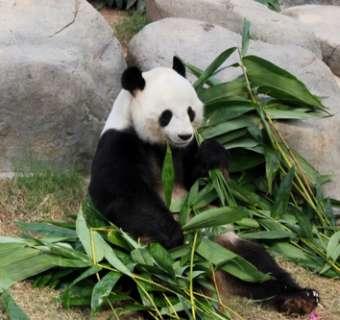 Panda's Hong Kong