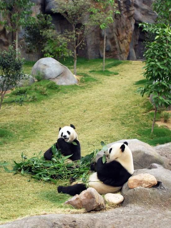 Pandas in Hong Kong Zoo