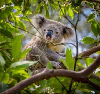Koala in tree in Australia